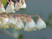 Clethra arborea0.jpg
