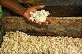 Cocoa farmer David Kebu Jnr holding fermenting cocoa beans. (10687048615).jpg
