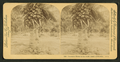 Cocoanut (coconut) trees in the white sands of Florida, U.S.A, from Robert N. Dennis collection of stereoscopic views 3.png