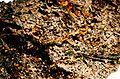 Coenogonium pineti-1.jpg