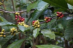 definition of coffea