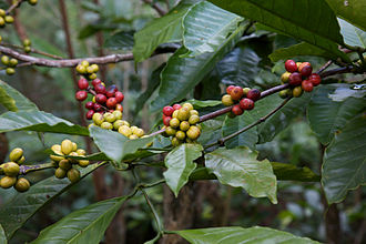 Coffea - Coffea fruits, Bali