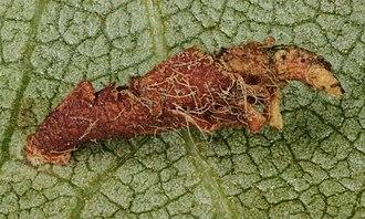 Coleophora binderella - Coleophora binderella, Gogarth bog, North Wales