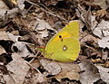 Colias croceus, Clouded Yellow, Kardzali, Bulgaria, June 2015 (21057073474).jpg