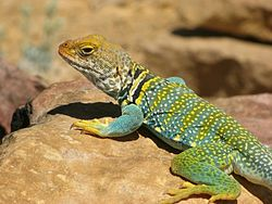 Collared Lizard near Hatch Point.jpg