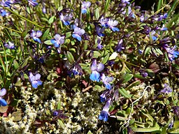 Collinsia parviflora 37839