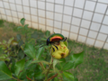 Colorful beetle from Brasília, Brazil in a yellow rose 4.png