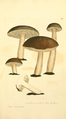 Coloured Figures of English Fungi or Mushrooms - t. 175.png