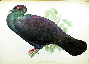 Japanese wood pigeon - Illustration by Philipp Franz von Siebold