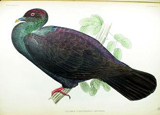 Japanese wood pigeon - Illustration by Philipp Franz von Siebold