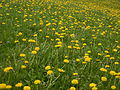 Common Dandelion (Taraxacum officinale) 01.jpg