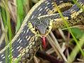Common Garter Snake (35009983705).jpg