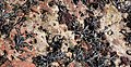 Common Limpet (Patella vulgata) attachment depressions on sandstone, Seamill, North Ayrshire.jpg