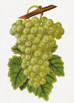 Common Muscadine grape RHS