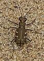 Common Shore Tiger Beetle - Cicindela repanda, Leesylvania State Park, Woodbridge, Virginia.jpg