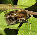 Common carder bee male - Bombus pascuorum (22223480316).jpg