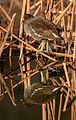 Common moorhen in Suita, Osaka, December 2016 - 689.jpg