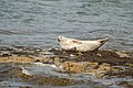Common seal (Phoca vitulina) (13905809102).jpg