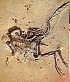 Compsognathus longpipes Paleomania.jpg
