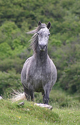 Gaelic warfare - A Connemara pony, modern descendent of the Irish Hobby Horse which was used for skirmishing and light cavalry.
