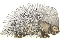 Drawing of a porcupine in Historia amimalium