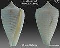 Conus alabaster 1.jpg