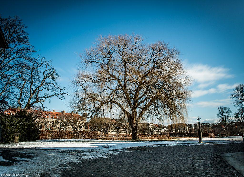 Arbre remarquable dans le parc de rosenborg à Copenhague - Photo de Robert Dimov
