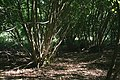 Coppice - geograph.org.uk - 305658.jpg