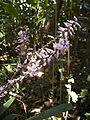 Cordyline flowers.jpg