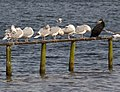 Cormorant and Gulls (6276732788).jpg