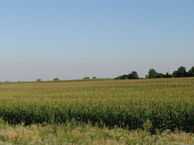 File:Corn field.jpg