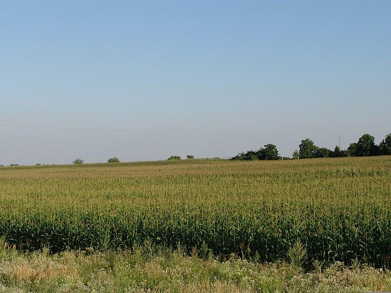 Image courtesy of Wikimedia Commons   http://commons.wikimedia.org/wiki/File:Corn_field.jpg
