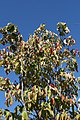 Cornus florida 47zz.jpg