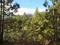 Corona Forestal, alto de los montes de Arafo.JPG