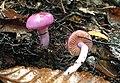Cortinarius magellanicus Speg 887003 crop.jpg