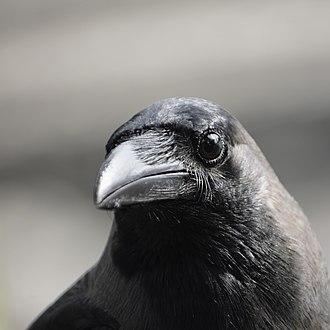 Corvus splendens @ Kuala Lumpur (4s, p16).jpg