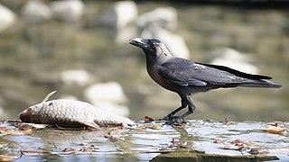 Corvus splendens @ Kuala Lumpur (4s, p3).jpg