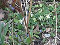 Corydalis malkensis and Pulmonaria angustifolia - Flickr - peganum.jpg