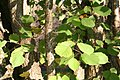 Corylus chinensis JPG1d.jpg