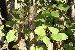 Corylus chinensis - Foliage