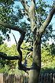 Corymbia torelliana (Eucalyptus torelliana) - Jardín Botánico de Barcelona - Barcelona, Spain - DSC08935.JPG