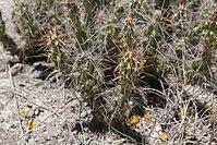 Corynopuntia vilis.jpg
