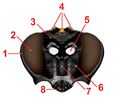 Coticheresiarches dirus head anatomy2.png