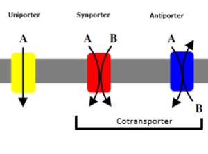 Cotransporter - Basic difference between the cotransporters known as antiporters and symporters, and the uniporter transporter.