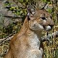 Cougar 2 (7974445715).jpg