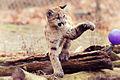 Cougar Kitten Swiping at a Ball (18156547406).jpg