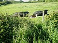 Cows and calves just off the Wayfarer's Walk approaching Warblington - geograph.org.uk - 1321110.jpg