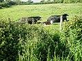 Cows and calves just off the Wayfarer's Walk approaching Warblington - geograph.org.uk - 1321110.jpg