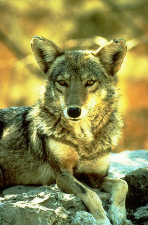 Coyote (mythology) - The coyote (Canis latrans), the animal on which the myths are based