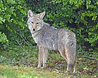 Coyote (Canis latrans) DSC1747vv.jpg
